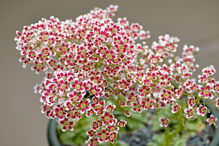 Saxifraga 'Southside Red'