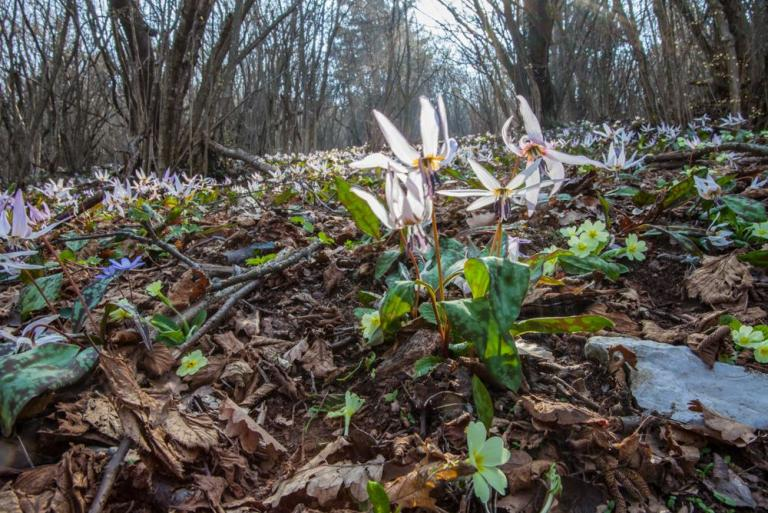Die Hunds-Zahnlilie (Erythronium dens-canis)