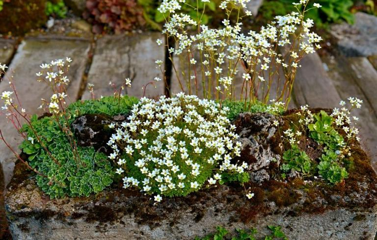 Links: Saxifraga x gaudinii