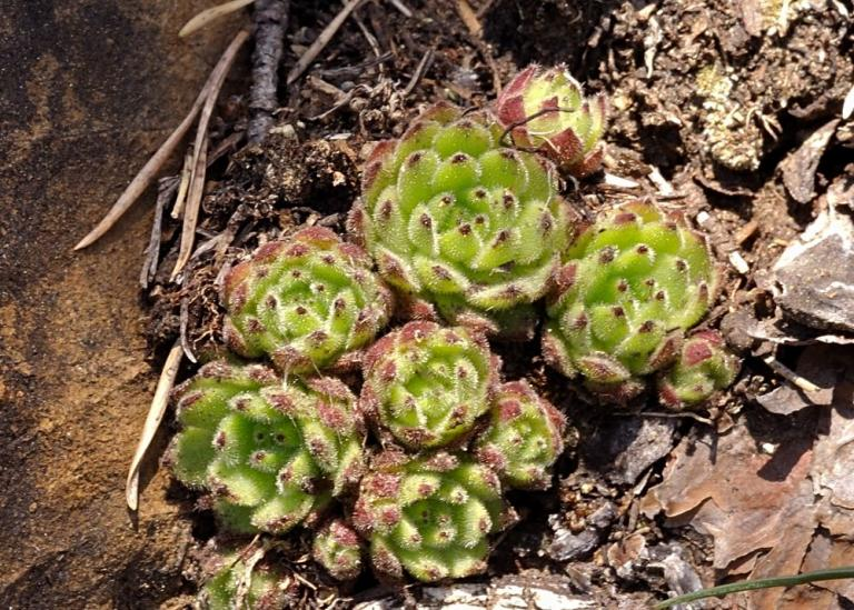 Sempervivum pittonii  Serpentin-Hauswurz