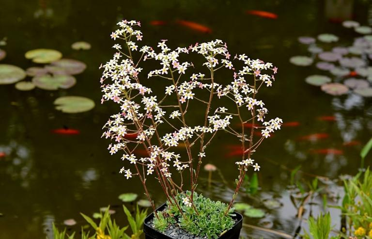 Saxifraga cartilaginea, rosa Form