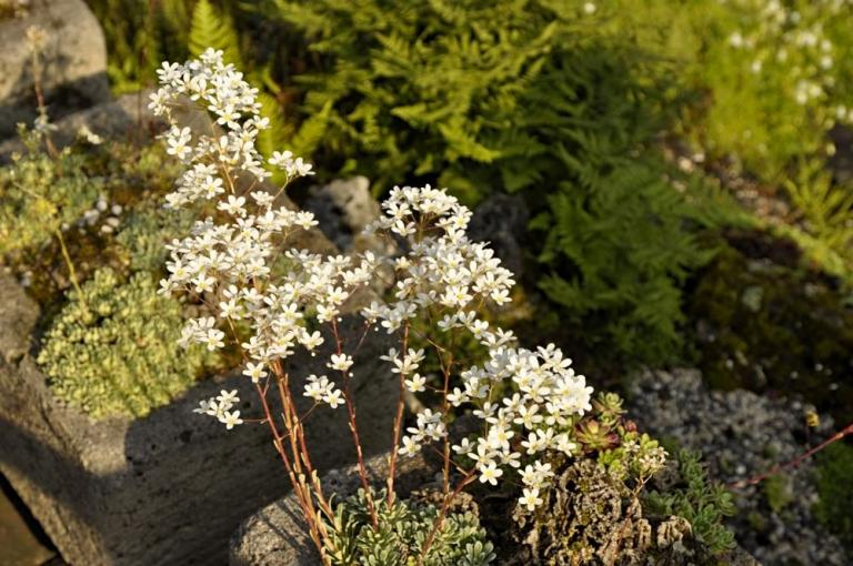 Saxifraga 'Surprise'