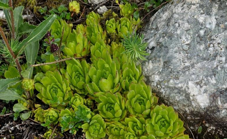 Sempervivum x stenopetalum, in situ