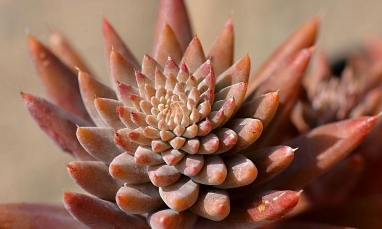 Orostachys fimbriata, Soochow-China