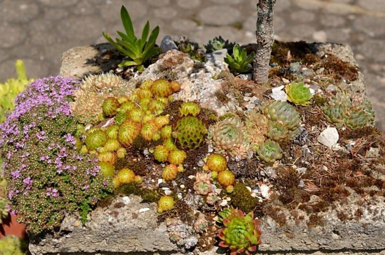 Orostachys spinosa 'Minor', im Trog