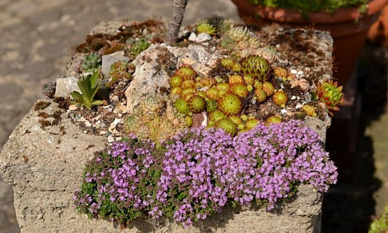 Orostachys spinosa 'Minor'